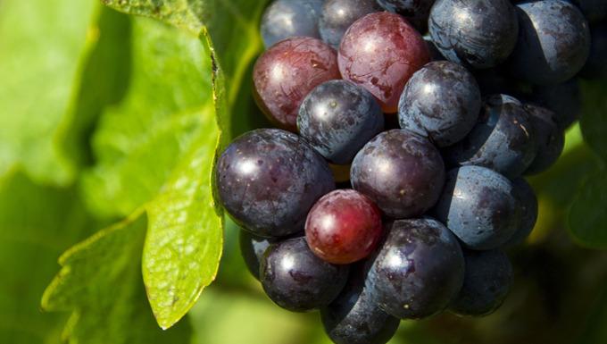 Weintrauben-heimische Superfoods